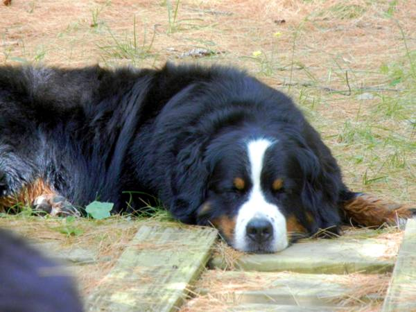 Latest News from Glenmegan ~ Bernese Mountain Dogs