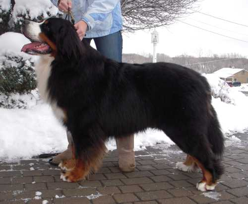 Welcome to Glenmegan Bernese Mountain Dogs